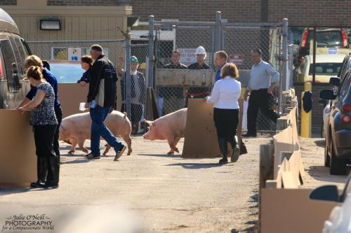 Nudging pigs to slaughter